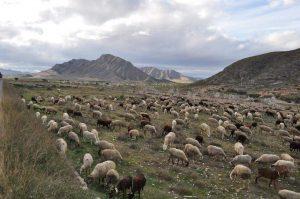 Local_Shepherds